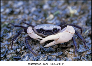 Crab Prince or Sirindhorn Crab or Chao Fah Crab is a waterfall crab found at Ngao Waterfall Forest Park, Ranong Province : THAILAND