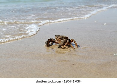 Crab running to the sea along the beach