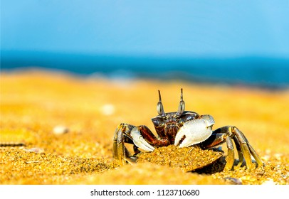 Crab sand beach close up. Cute crab on sand beach. Sand beach crab looking