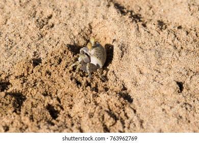 crab sandy close-up