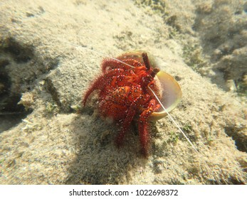 Crab in the shallow water, Guam USA.