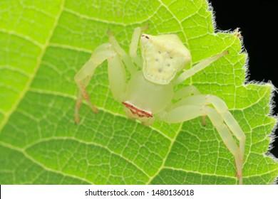 Crab spider (Arthropoda: Arachnida: Araneae: Thomisidae: Thomisus labefactus). On leaf. In Zhubei,Hsinchu,Taiwan.