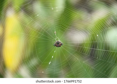 Crab spider in center of its web tropical environment