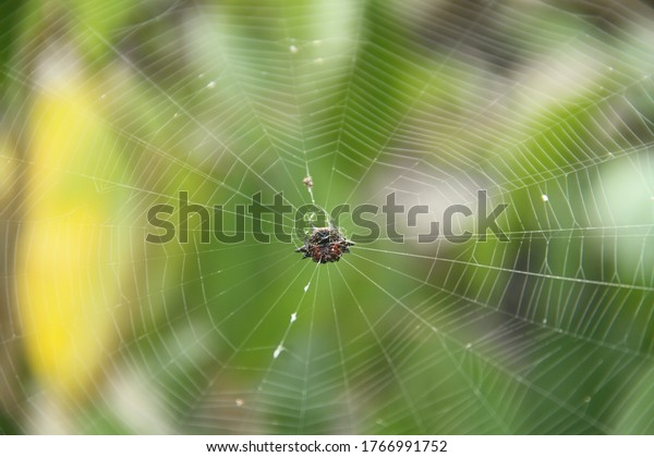 crab-spider-center-web-tropical-600w-176