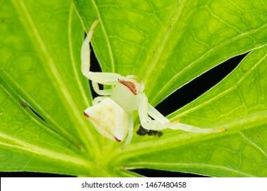 Crab spider(Arthropoda: Arachnida: Araneae: Thomisidae: Thomisus labefactus). On leaf. In Zhubei,Hsinchu,Taiwan.