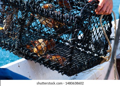 A crab trap being lifted out of the water with crabs in it, Cancer pagurus.