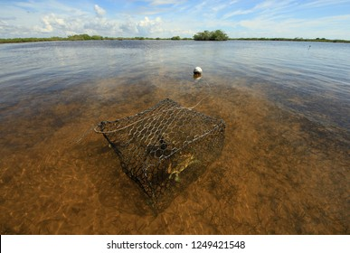Crab trap with Blue Crab in the shallows of Barnes Sound, Florida.
