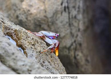 Crab Varicolored Closeup