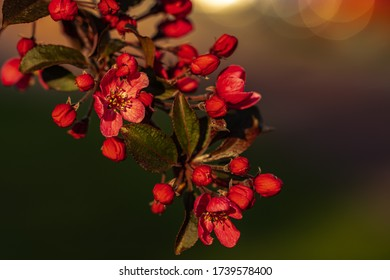 Crabapple blossom. Malus, macro. Blossom malus branch, closeup. Flowering tree in spring