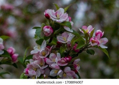 Crabapple Malus Floribunda,  Cherry flowers full bloom in Early Spring covered in deep pink buds that open to double, blushing white flowers On Natural Background .