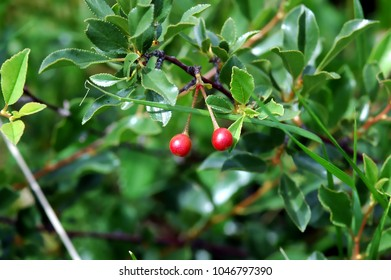 Crabapple, tiny red fruits in early summer