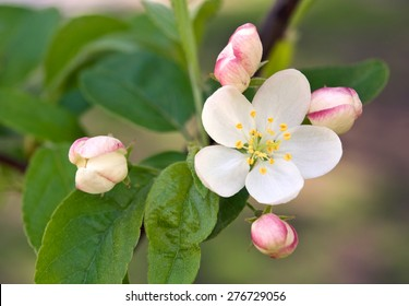 Crab-apple Tree Blossom and Buds