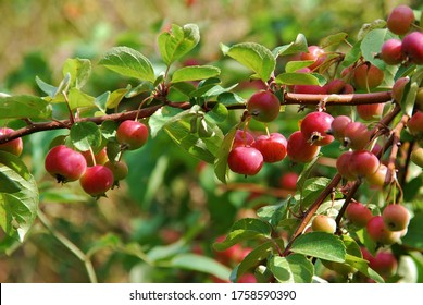 Crabapple tree full of apple fruits. Malus baccata.