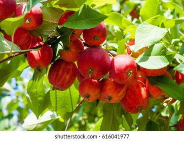 Crabapple and Wild apple. Malus  is a genus of about 30â??55 species of small deciduous apple trees or shrubs in the family Rosaceae