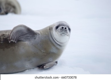 Crabeater seal, Antarctic Peninsula
