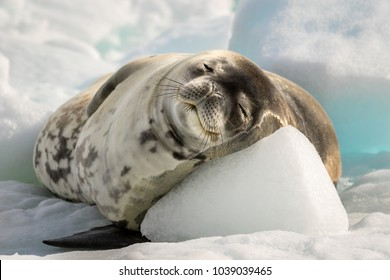 Crabeater seal have a rest on the sun in Antarctica
