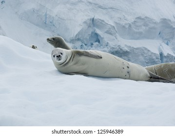Crabeater seal lying on the ice against the iceberg.
