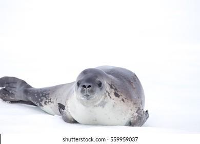 A crab-eater Seal on an ice flow at Wilhelmina Bay, Antarctica.