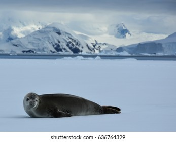 Crabeater seals in Antarctica on ice floes in Wilhemina Bay