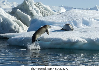 Crabeater seals jump on the ice.