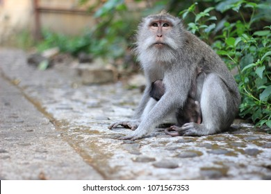 Crab-eating macaque or Balinese long-tailed monkey with baby. The Ubud Monkey Forest