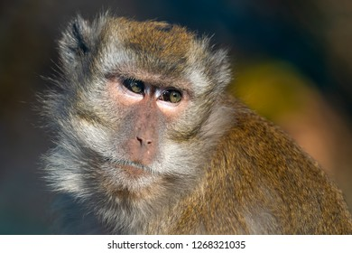 Crab-eating macaque - Macaca fascicularis