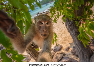Crab-eating macaque Macaca fascicularis also known as long-tailed macaque