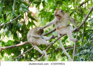 Crab-eating macaque monkey (Macaca Fascicularis) perched on tree and grabbing another monkey by the head