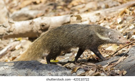 Crab-eating mongoose in Thailand