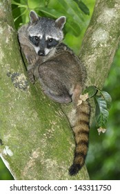 Crab-eating Raccoon (Procyon cancrivorus) in Manuel Antonio National Park, Costa Rica