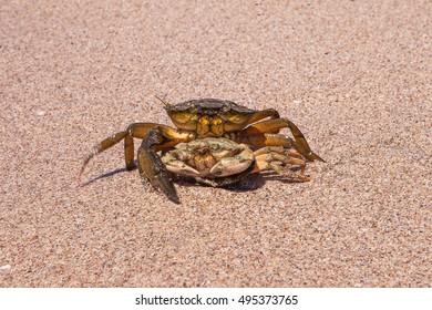 Crabs copulate