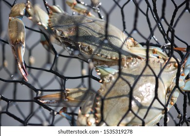 crabs in a crab trap