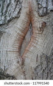 The crack in the bark of a tree close-up. Background and texture