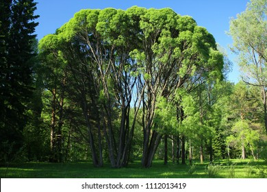 Crack willow ( salix fragilis ) crone.