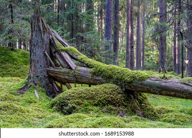 Cracked and fallen fir tree in the middle of a forest with green moss growing on the trunk - Shutterstock ID 1689153988