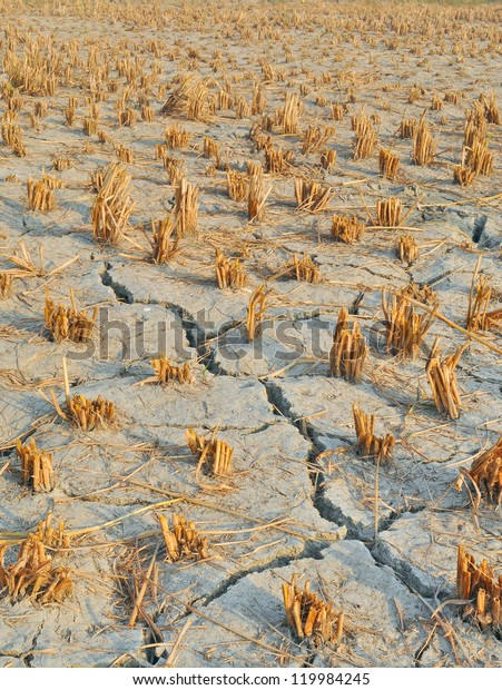 cracked land surface in a harvested paddy field