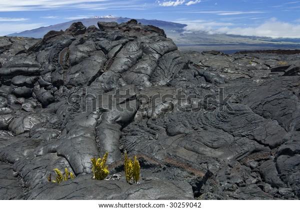Cracked lava rocks from Mauna Loa volcano, new life sprouting. Mauna Kea on the background. Big Island of Hawaii.