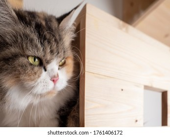 Crafty face of Calico Persian cat on cat shelf or cat step looking away. Absent minded cat. Copy space provided.