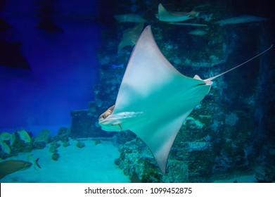 Cramp-fish in blue water. Stingray swimming underwater. Stingray is a flat marine fish. Rays (skates) deep-water fish. Side view.