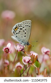 Cranberry Blue (Plebejus optilete), Denmark