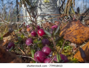 cranberry bog marsh forest
