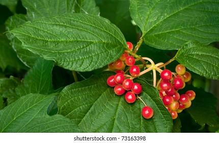 Cranberry-tree Images, Stock Photos & Vectors | Shutterstock