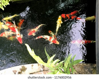 Cranberry fish are eating feed pellet in the pond. Some are eating algae or moss.