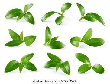 Cranberry leaves isolated on white background. Collection. Full depth of field.