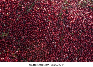 Cranberry mound  in Muskoka Region of Ontario, Canada