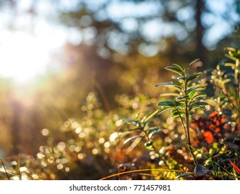Cranberry plant stretching up and bathing in late afternoon sunset