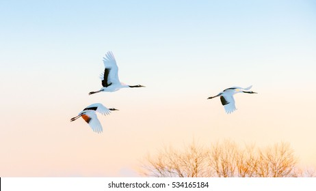 crane bird flying in the morning in Kushiro. Hokkaido japan.