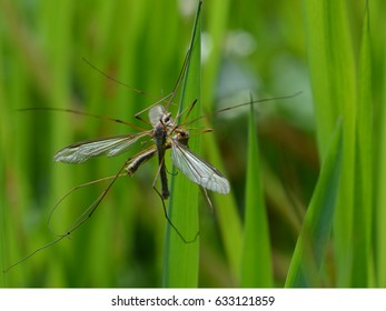 Crane flies mating