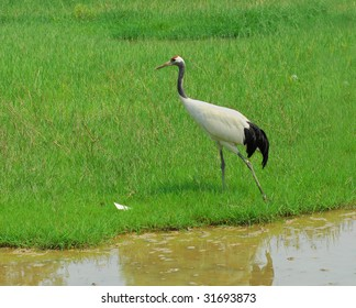 crane with gree grass colors in the background (See more birds in my portfolio).