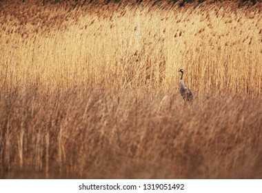Crane inside reeds